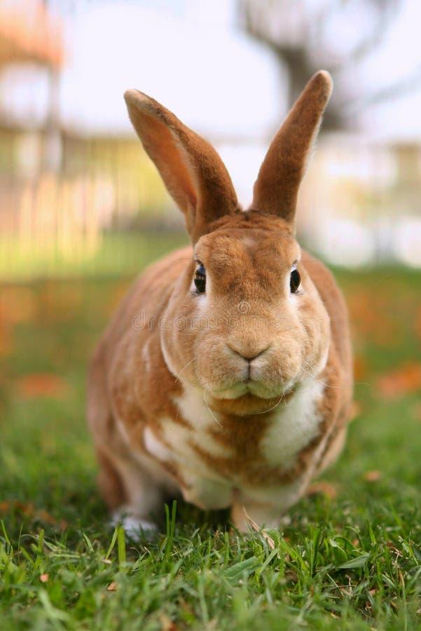 外面棕色兔宝宝 免版税库存照片
