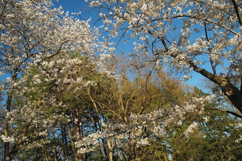 多伦多,加拿大- 05 09 2018年:海柏公园多伦多在春天吸引许多访客敬佩美丽的佐仓樱桃 库存图片