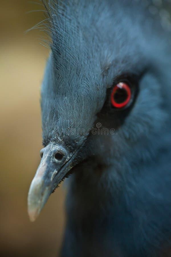 维多利亚加冠了鸽子& x28; Goura victoria& x29; 库存照片