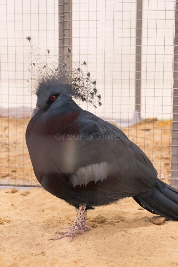 维多利亚在农场加冠了鸽子 免版税库存图片