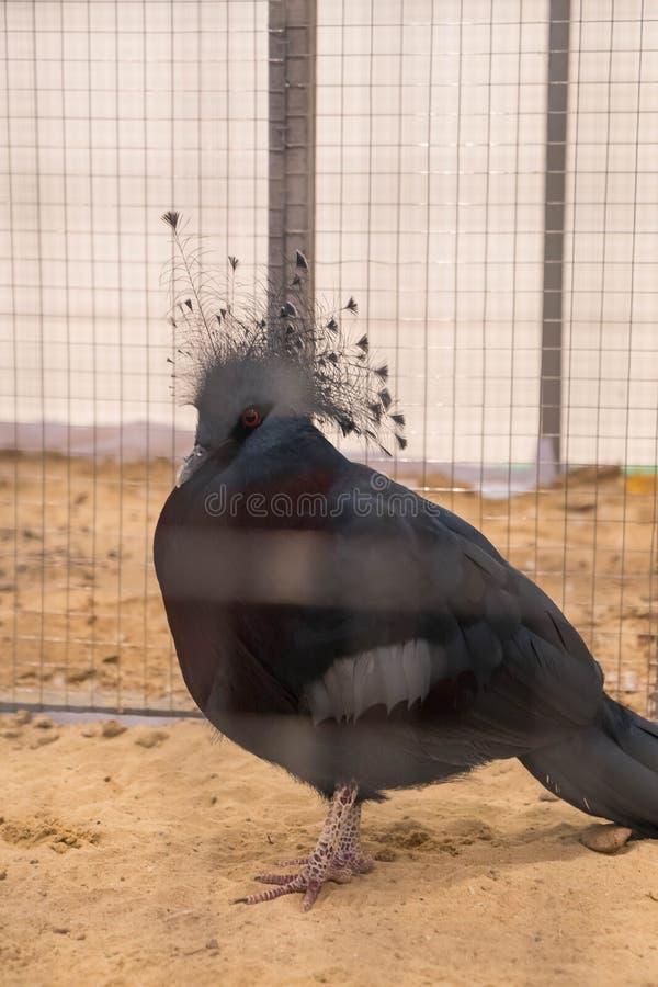 维多利亚在农场加冠了鸽子 库存图片