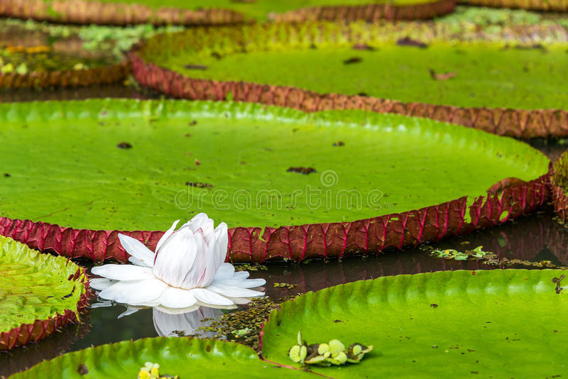 维多利亚Amazonica花 免版税库存照片