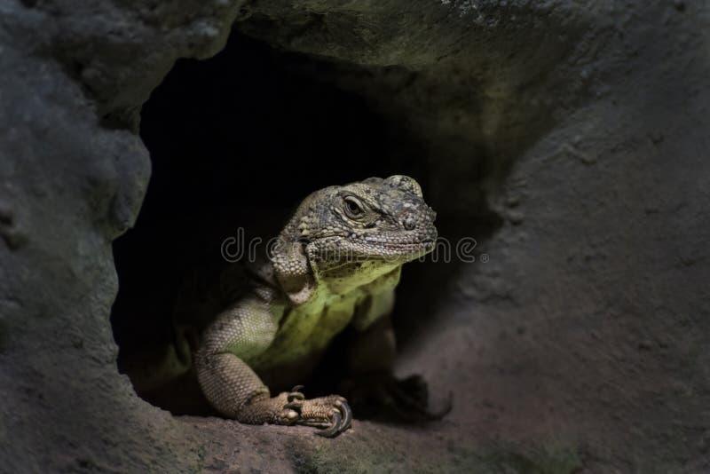 多刺沙漠的蜥蜴 库存图片