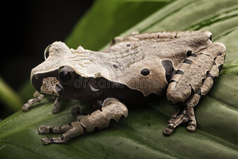 多刺的朝向的雨蛙 免版税图库摄影