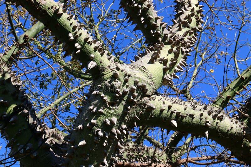 多刺的棉花树 免版税库存图片