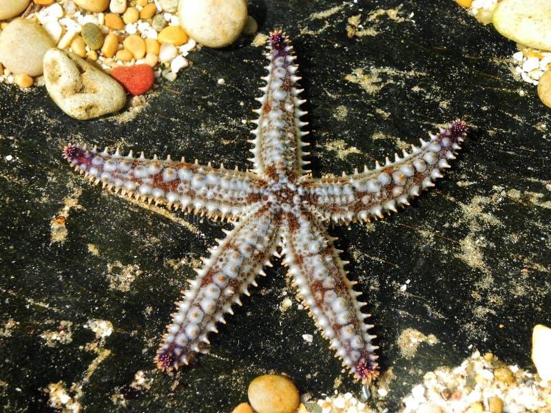 多刺的海星 库存照片