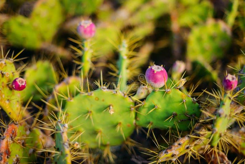 多刺的绿色仙人掌在晴天在特内里费岛西班牙 沙漠 免版税库存图片