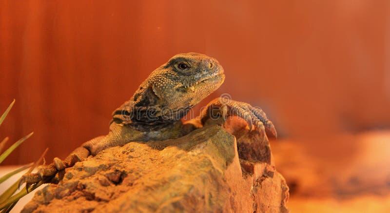 多刺的被盯梢的蜥蜴 免版税库存图片