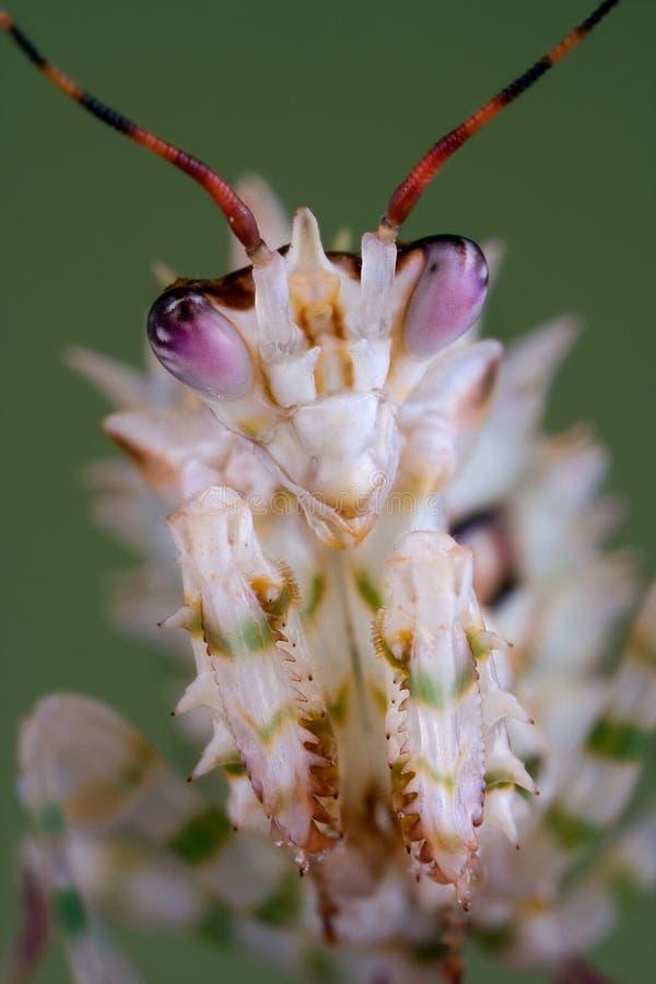 多刺螳螂的纵向 库存图片