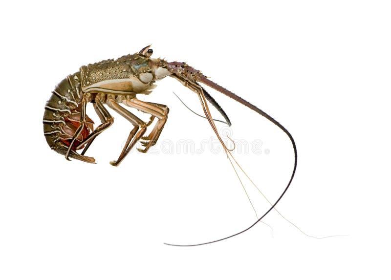 多刺龙虾的palinuridae 图库摄影