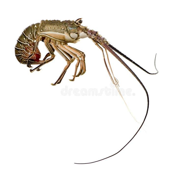 多刺龙虾的palinuridae 免版税图库摄影