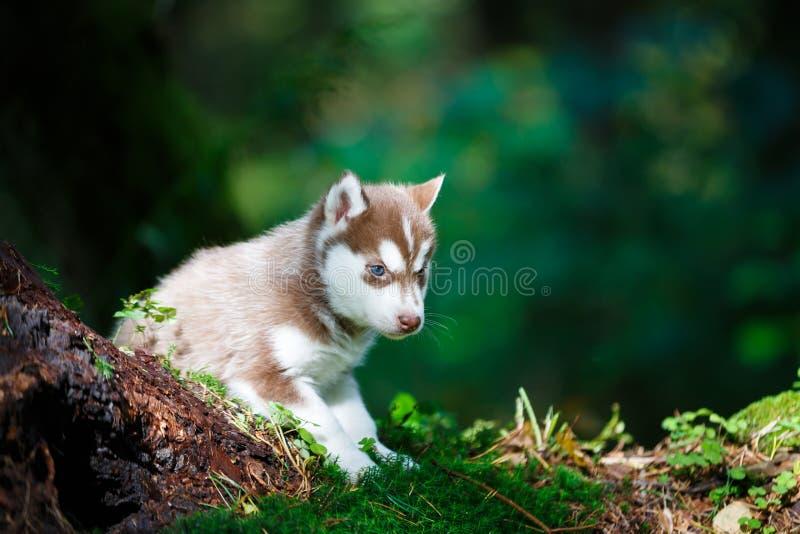 多壳的小狗在一个狂放的森林里 免版税库存图片