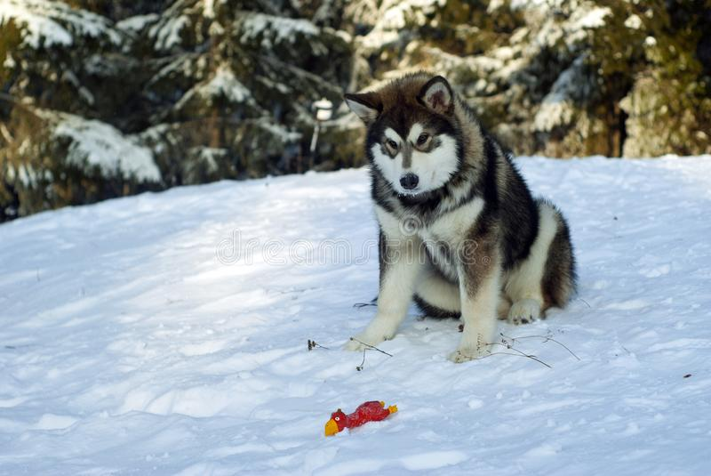 多壳的小狗西伯利亚人 免版税图库摄影