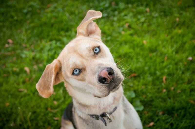 多壳的拉布拉多笨蛋与蓝眼睛混合了品种狗 库存照片