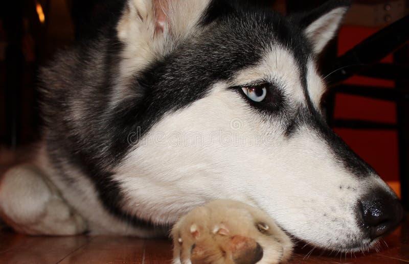 多壳的狗关闭 库存图片