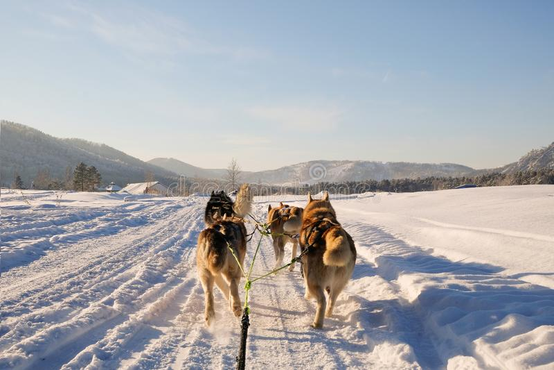 多壳的狗爬犁 逗人喜爱的多壳的拉雪橇狗 西伯利亚爱斯基摩人拉雪橇狗赛跑竞争 从雪橇的看法 免版税库存照片