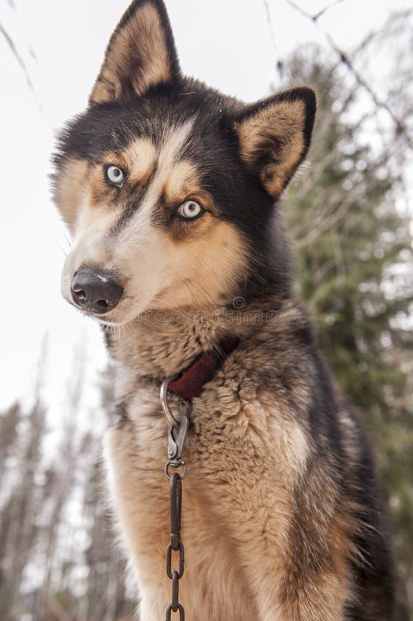多壳的狗西伯利亚人动物 免版税库存照片