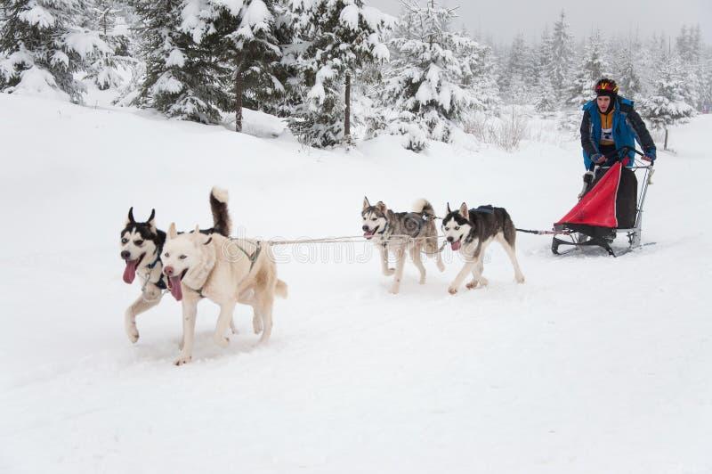 多壳的狗雪撬 库存照片