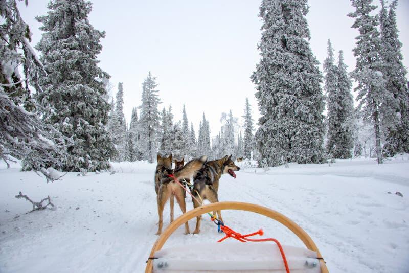 多壳的狗sledding在拉普兰芬兰 免版税库存图片