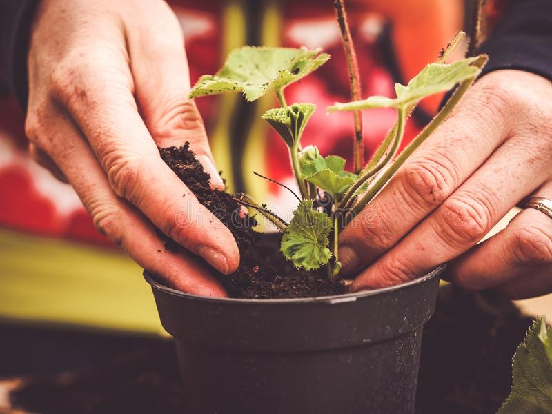 多年生植物的无性繁殖 免版税库存图片