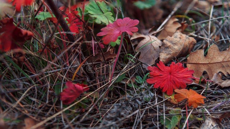 多彩多姿的叶子在干草特写镜头说谎 秋天秋天森林路径季节 免版税库存图片