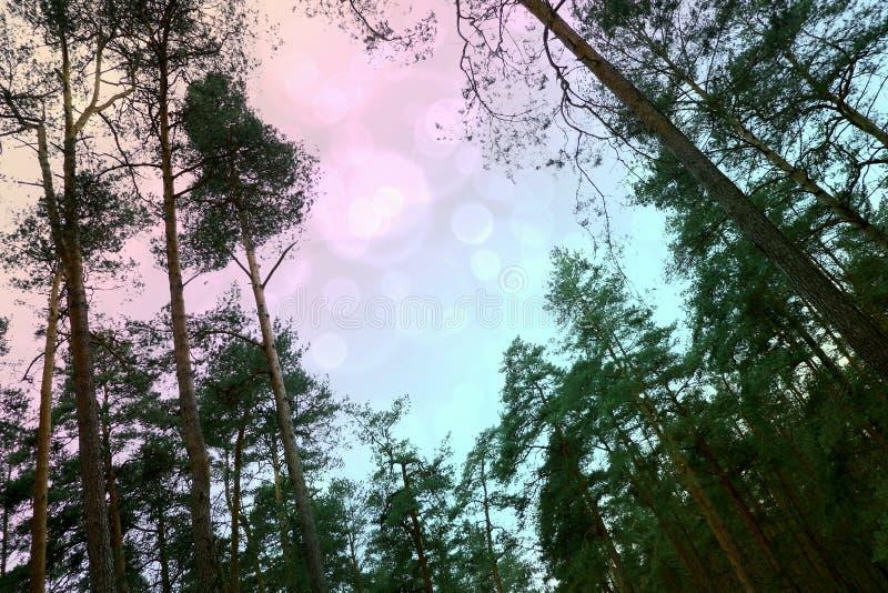 多彩多姿的天空在云杉中的森林里 图库摄影