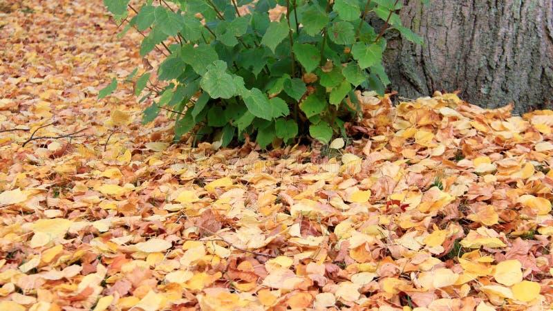 多彩多姿的有树根的秋天落的叶子 库存图片