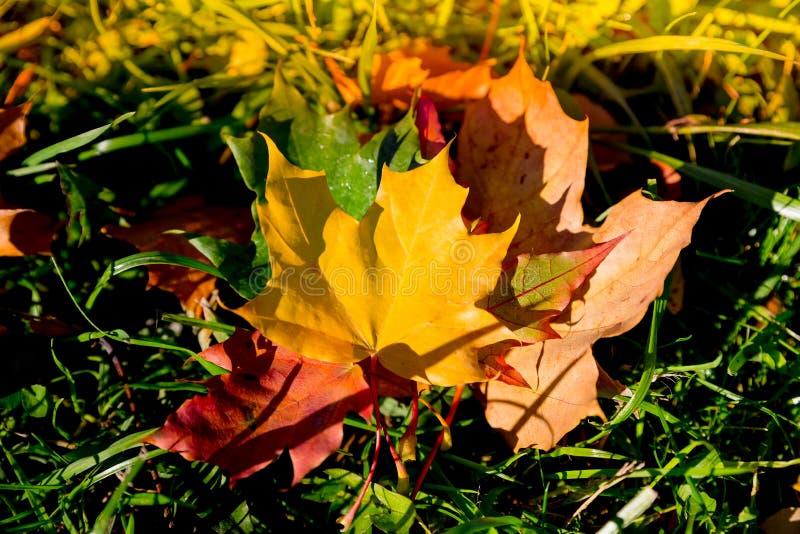 ?? 多彩多姿的枫叶在草说谎 秋天下落的黄色枫叶在绿草说谎 ?? 图库摄影
