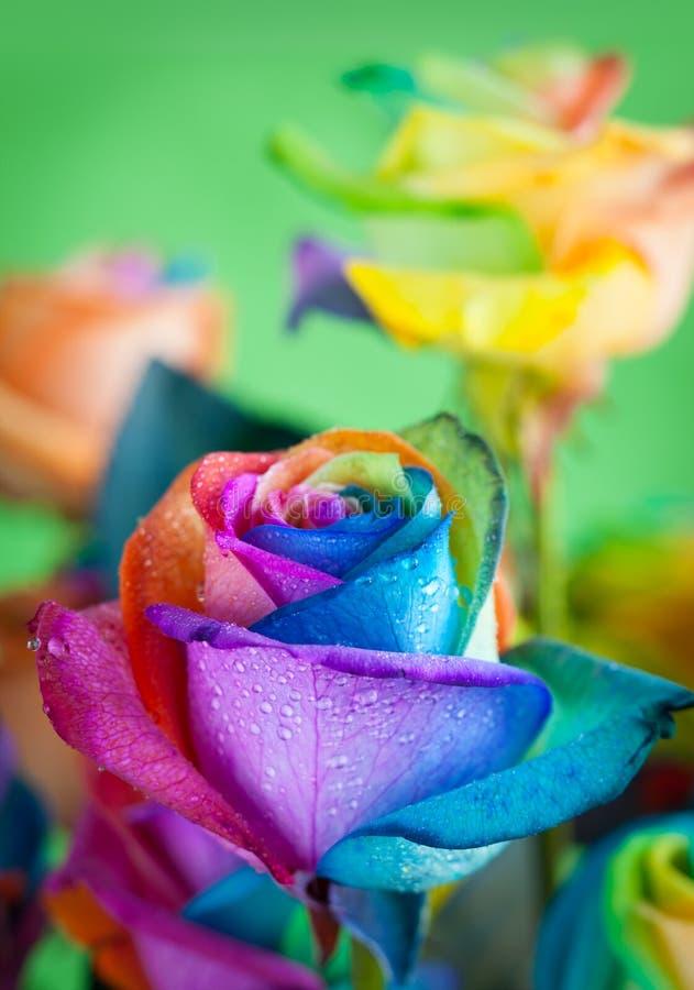多彩多姿的玫瑰 免版税图库摄影