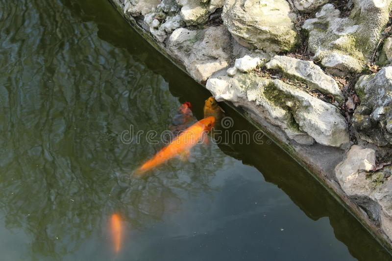 多彩多姿的鱼在池塘 免版税库存照片