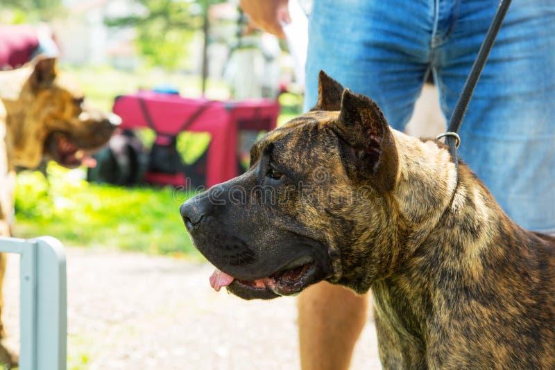 多戈Canario,perro de presa canario与所有者的小狗在公园 免版税图库摄影