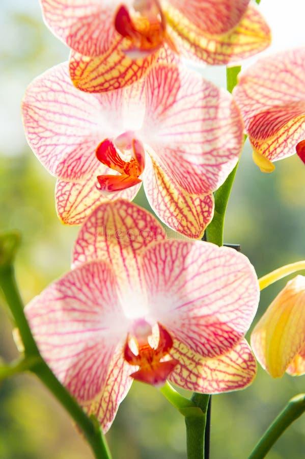 多数共同地增长的房子植物 兰花华美的开花关闭 兰花花桃红色和黄色绽放 r 图库摄影