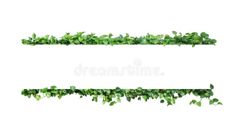 多样化的绿色在白色背景留下自然恶魔的常春藤或金黄pothos框架边界热带叶子植物 免版税库存照片