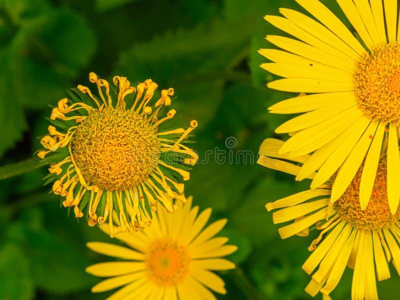 多榔菊属植物-豹子` s诅咒花 库存图片