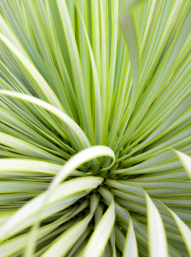 多汁丝兰植物特写镜头、刺和细节在Narrowleaf丝兰叶子  库存照片