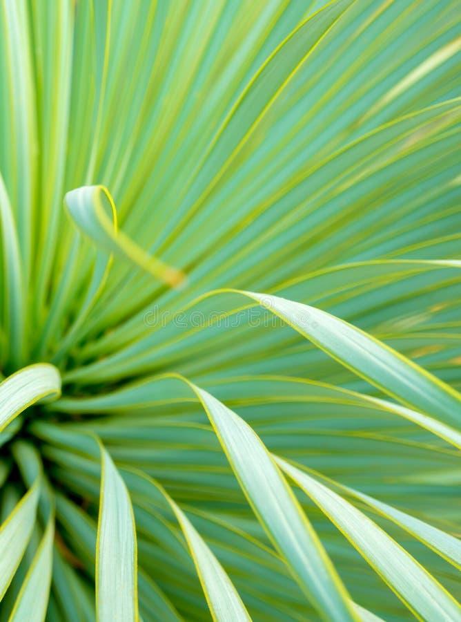 多汁丝兰植物特写镜头、刺和细节在Narrowleaf丝兰叶子  免版税库存图片