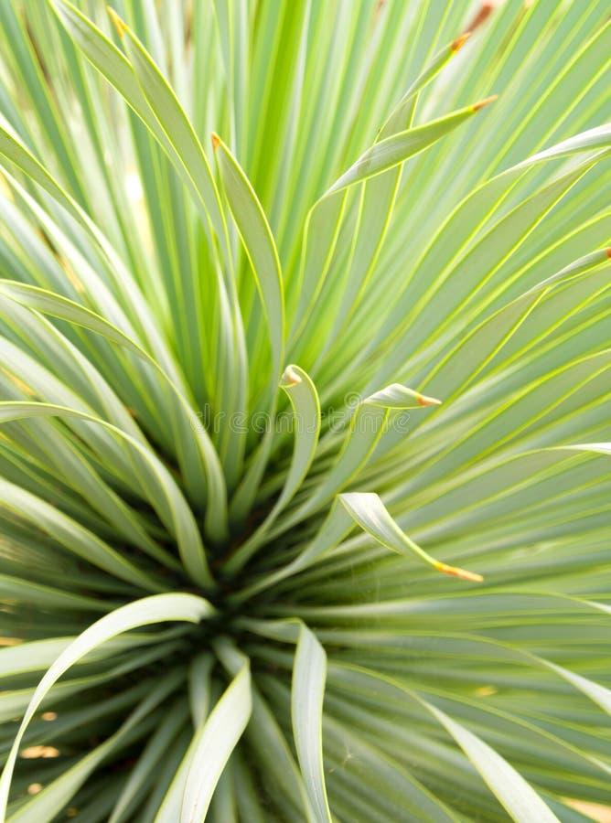 多汁丝兰植物特写镜头、刺和细节在Narrowleaf丝兰叶子  库存图片