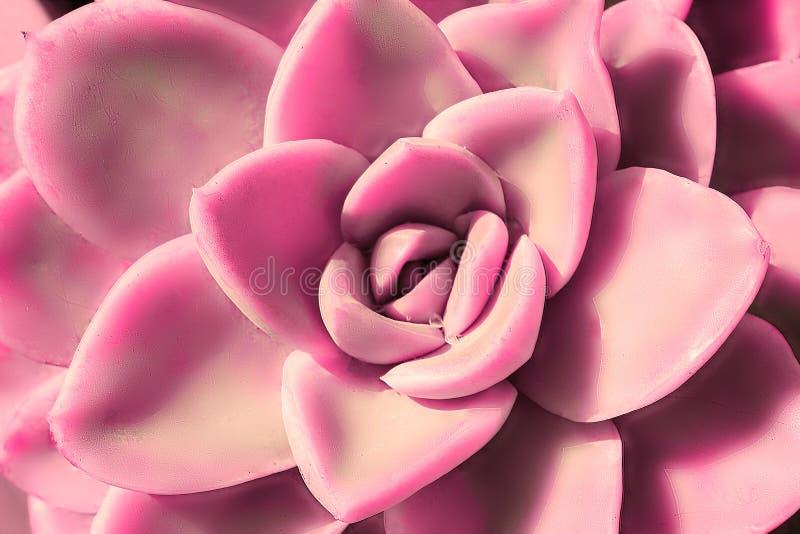 多汁仙人掌,echeveria特写镜头美丽的桃红色花  库存照片