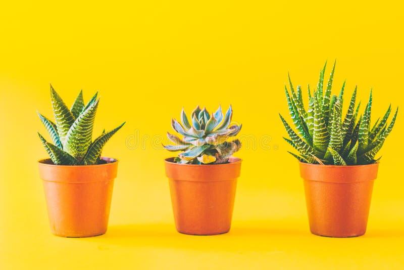 多汁植物以黄色 库存图片