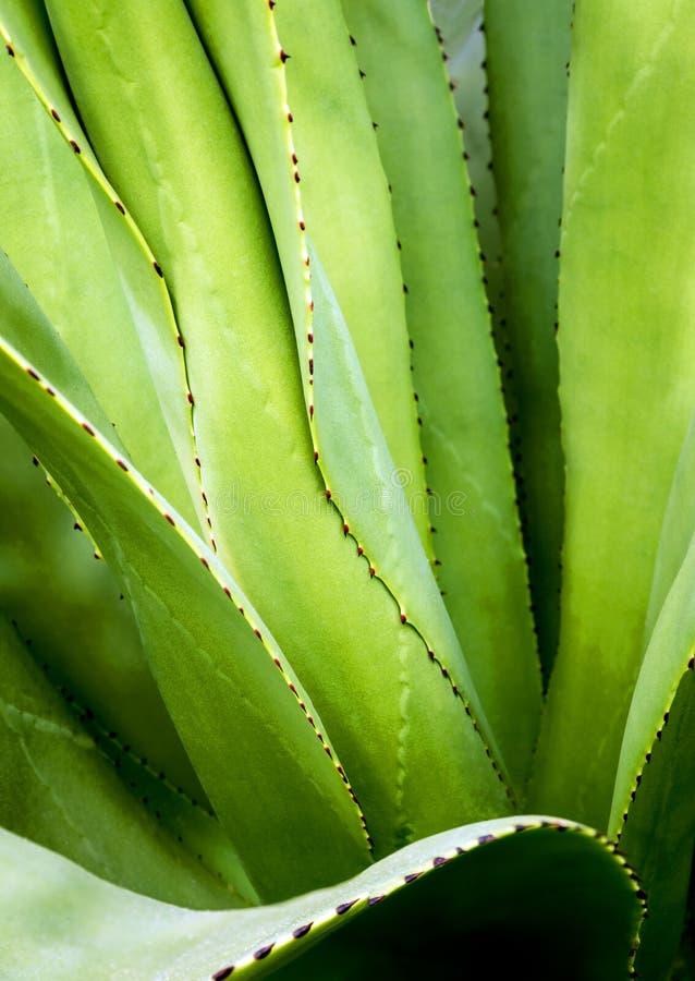 多汁植物特写镜头、刺和细节在龙舌兰植物叶子  免版税库存照片