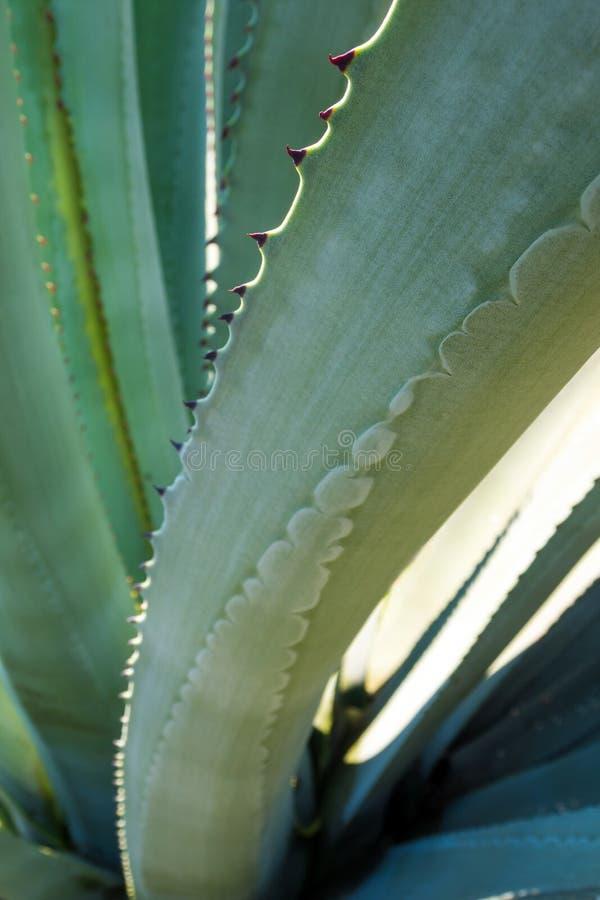 多汁植物特写镜头、刺和细节在龙舌兰pl叶子  免版税库存照片