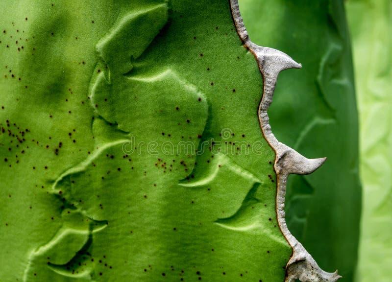 多汁植物特写镜头,龙舌兰titanota绅士新叶子细节  库存照片