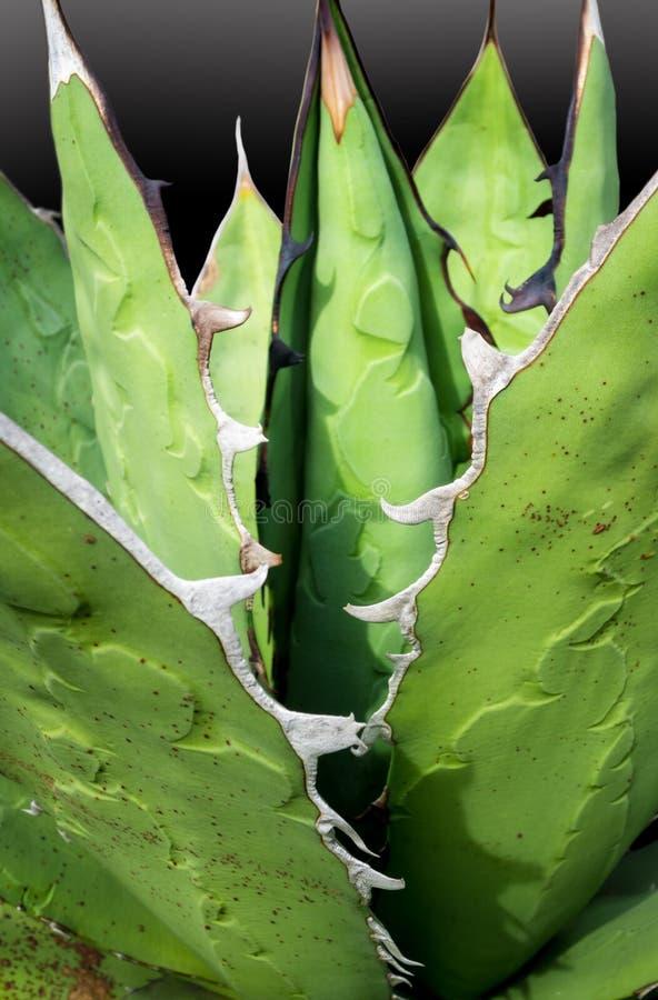 多汁植物特写镜头,龙舌兰titanota绅士新叶子细节  免版税库存照片