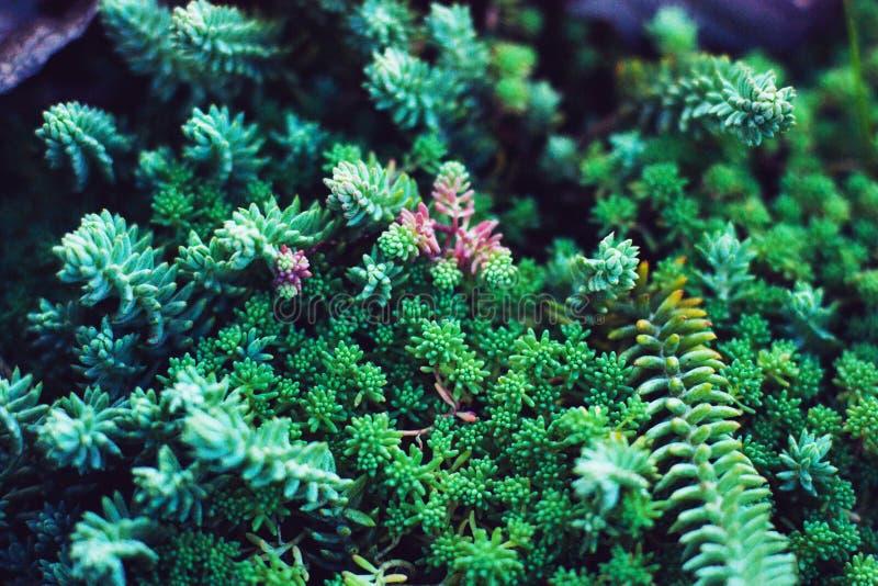 多汁植物绿色植物 关闭混杂的微型仙人掌 最低纲领派花卉为floristry商店 免版税库存图片