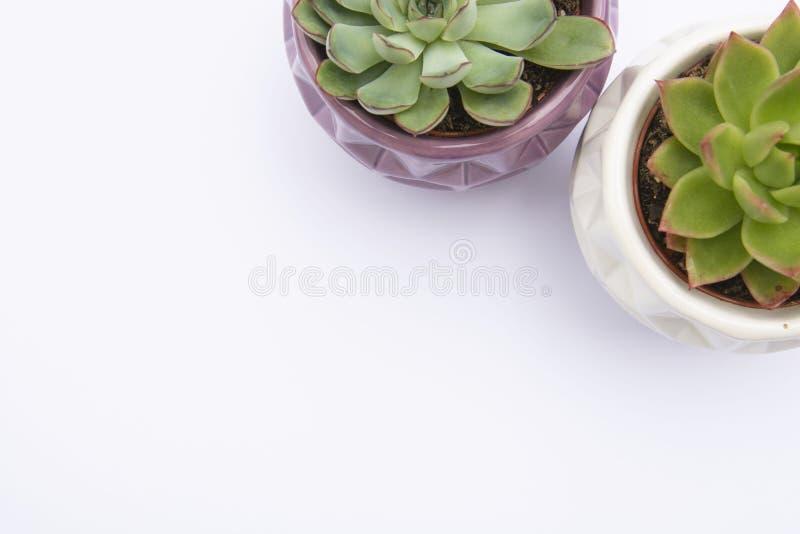 多汁植物,罐的,白色背景室内装饰花盆Echeveria多汁花厂 r 免版税库存图片