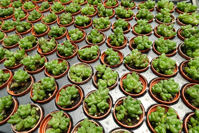 多汁植物 图库摄影