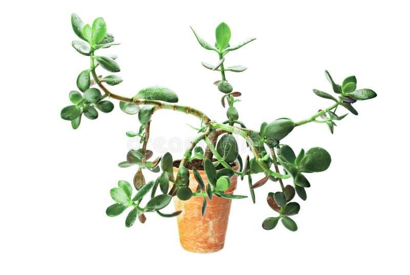 多汁结构树 库存图片