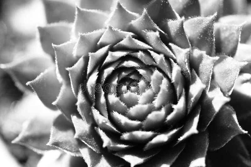 多汁仙人掌厂在庭院里 黑色&白色 免版税库存图片