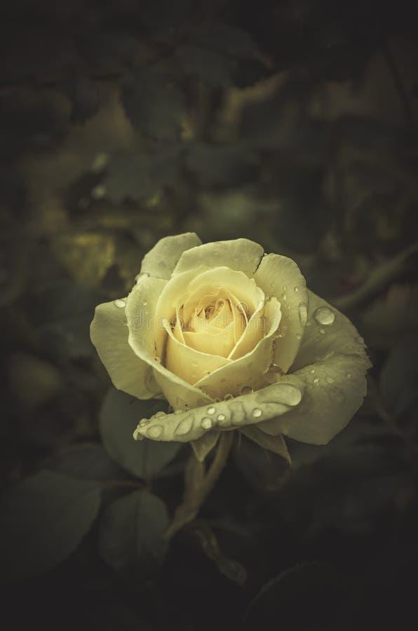 水多的照片年轻春天开花在葡萄酒样式的玫瑰 免版税库存照片