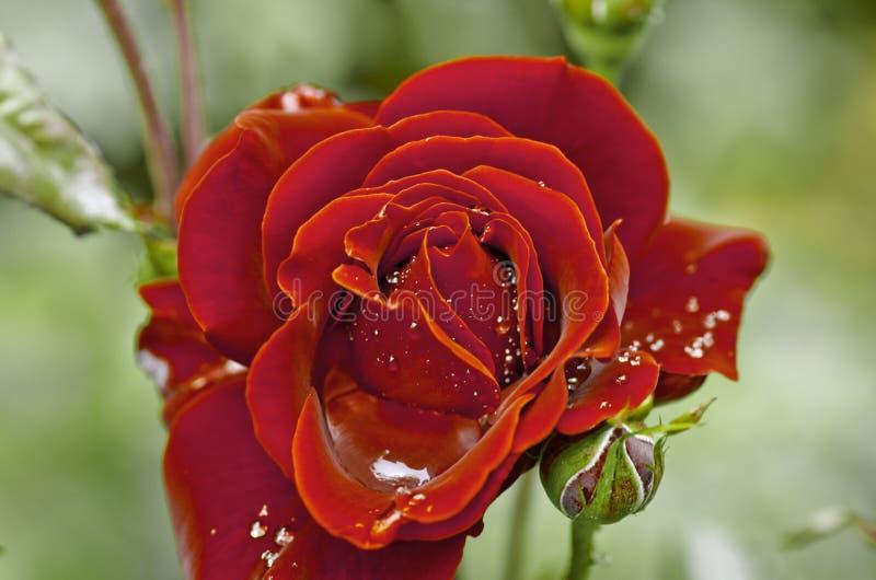 水多的照片年轻春天开花在葡萄酒样式的玫瑰 免版税图库摄影